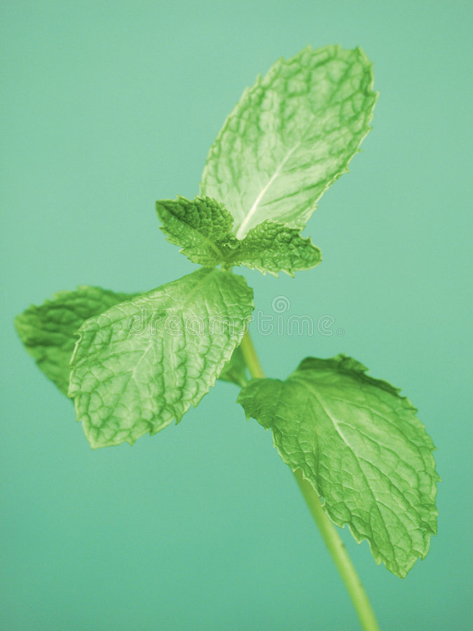 Sprig of Mint. A sprig of Mint Leaves stock images