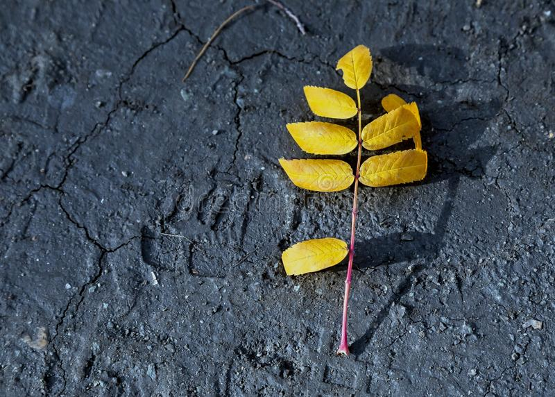 Sprig of mountain ash, yellow-orange autumn leaves on the ground. Sprig of mountain ash, yellow-orange autumn leaves on the bare ground stock photo