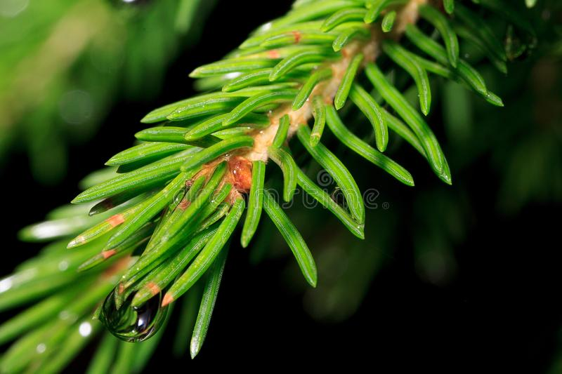 Sprig of pine after summer rain. Summer morning stock photography