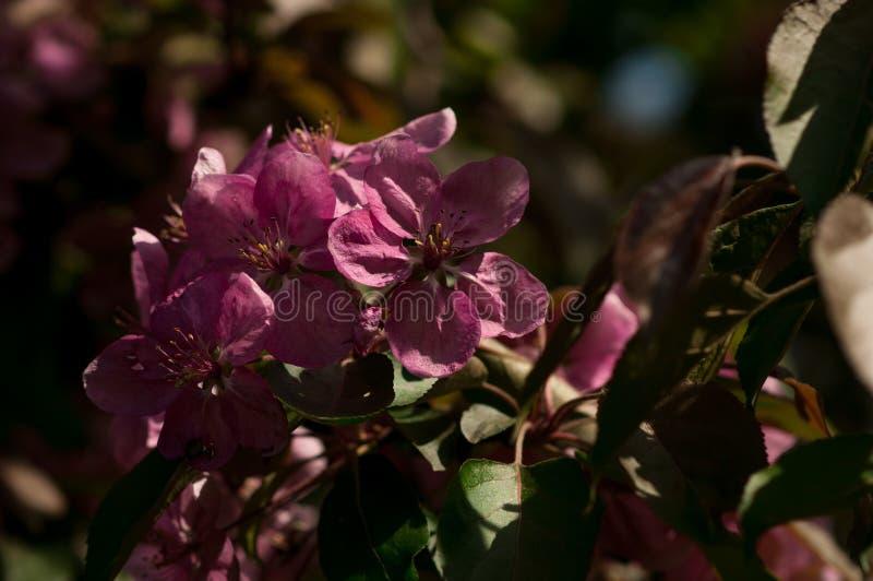Sprig purpurowy jabłko kwitnie przeciw ciemnemu tłu zdjęcie royalty free