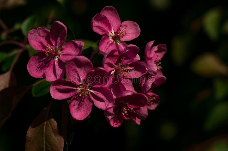 Sprig purpurowy jabłko kwitnie przeciw ciemnemu tłu obrazy royalty free