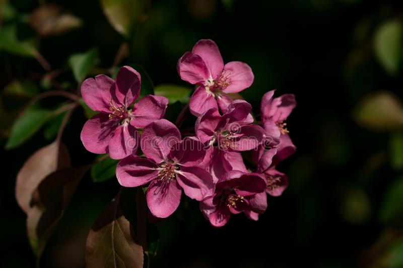 Sprig purpurowy jabłko kwitnie przeciw ciemnemu tłu fotografia stock