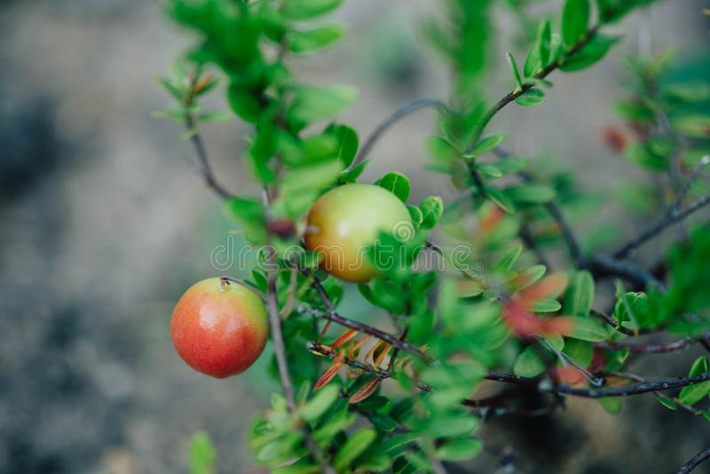 Sprig of cranberries on the garden bed. Healthy vitamin food. Gardening growing berries. Sprig of ripe cranberries on the garden bed. Healthy vitamin food royalty free stock image