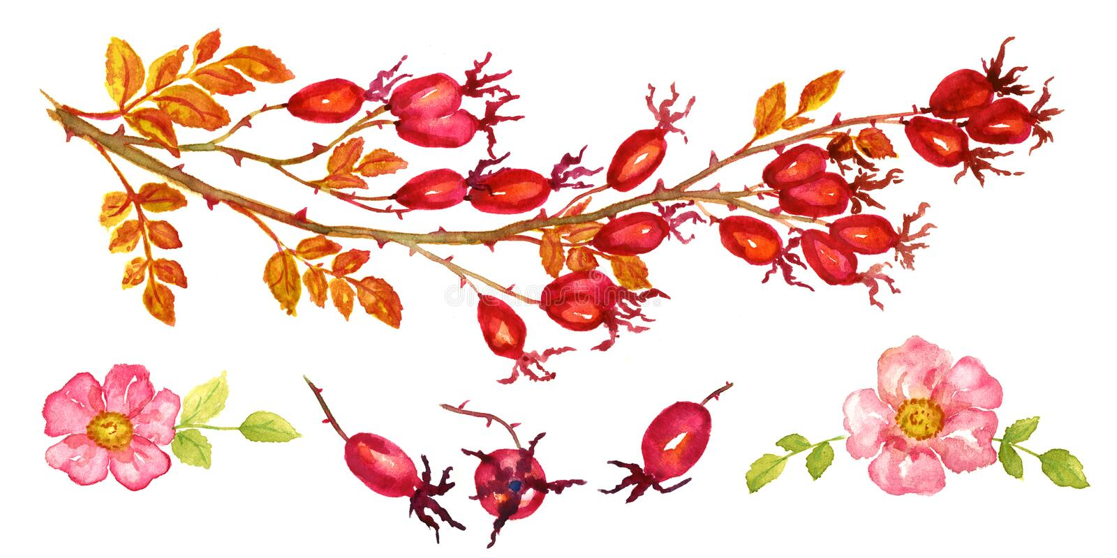 Sprig of rose hips with berries and blossoms stock illustration