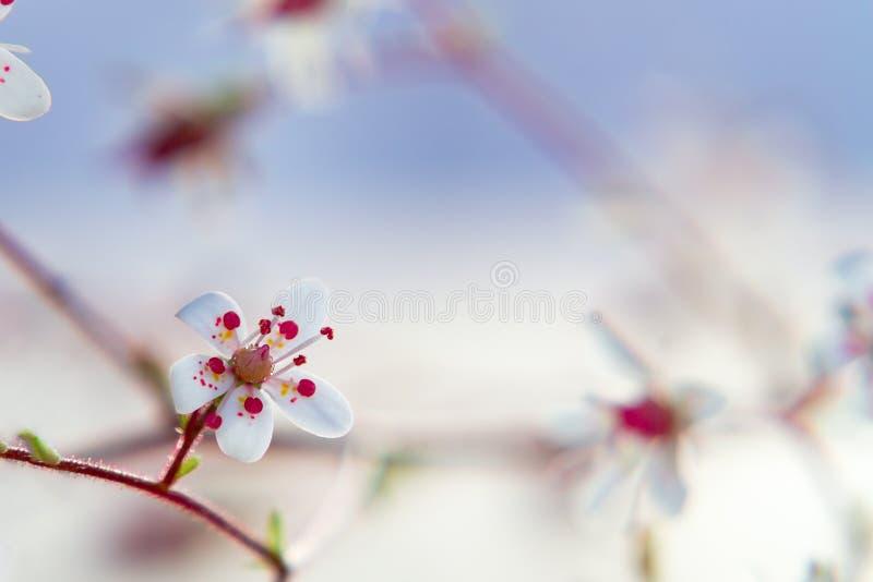 Sprig saxiframes z kwiatami zamyka w górę, miękka selekcyjna ostrość, piękny kwiecisty tło fotografia stock