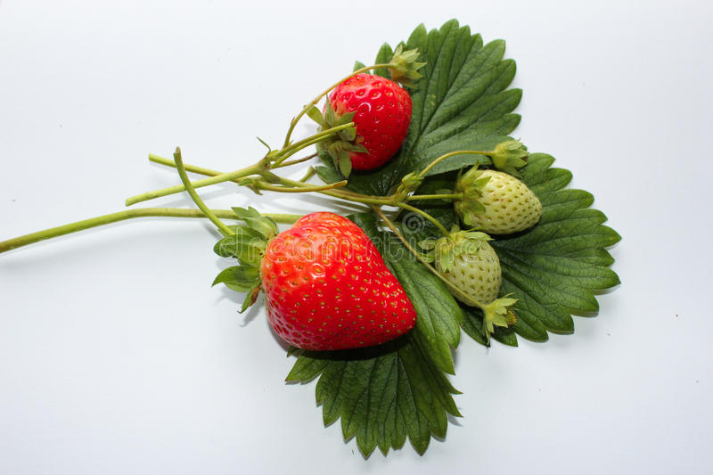 Sprig strawberris in autumn stock photo