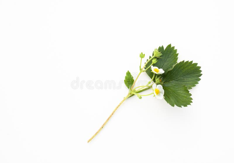 Sprig truskawki z kwiatami na białym tle zdjęcia stock