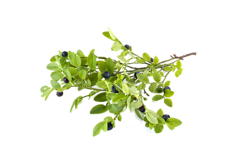 Sprig of whortleberry with leaves royalty free stock photos