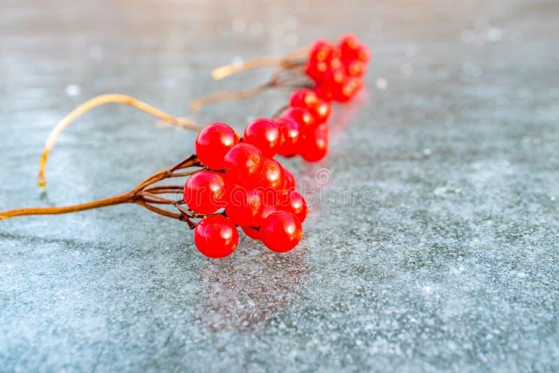 Sprigs ярких красных ягод калины на льде стоковые изображения