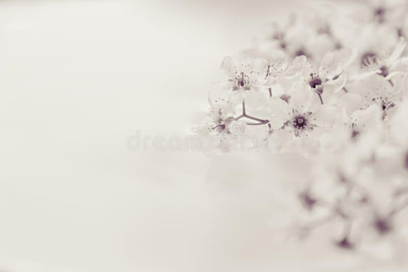 Sprigs птиц-вишни на воде с космосом экземпляра Черно-белый, sepia Граница, рамка вектор детального чертежа предпосылки флористич стоковые изображения rf