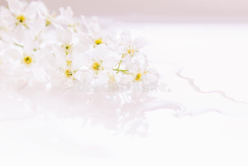 Sprigs розовой птиц-вишни на воде с космосом экземпляра Граница, рамка вектор детального чертежа предпосылки флористический Весна стоковые фото