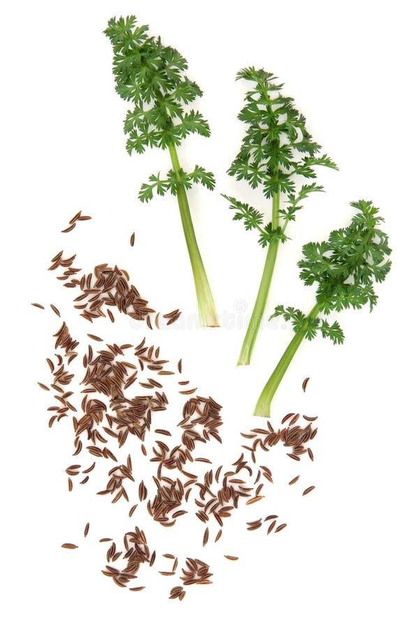 Sprigs семени и листьев тмина стоковая фотография rf