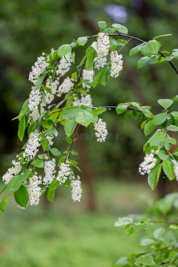 Sprigs цветя вишни птицы в парке с запачканной предпосылкой стоковое изображение