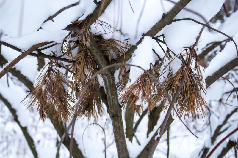 Sprigs of barbed pine lie among other bushes branches topped with snow royalty free stock images