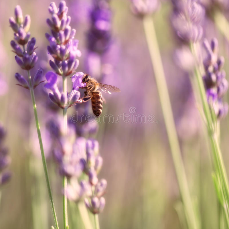 Sprigs of lavender and bee