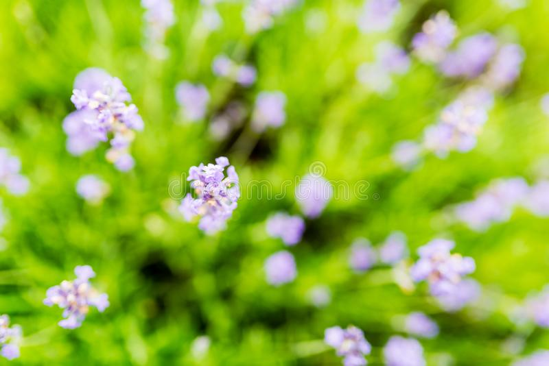 Sprigs of lavender - flowers close up stock image
