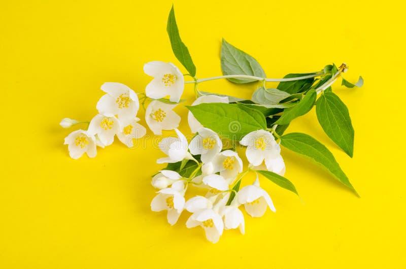 Sprigs z białych kwiatów Philadelphus coronarius Aureus obraz royalty free