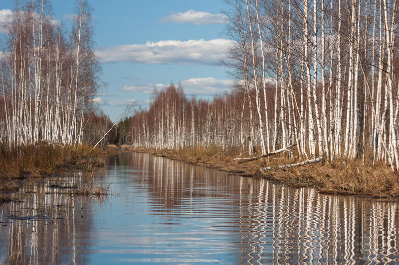 Sprigtime flooding. Springtime flooding in birch grown stock photography