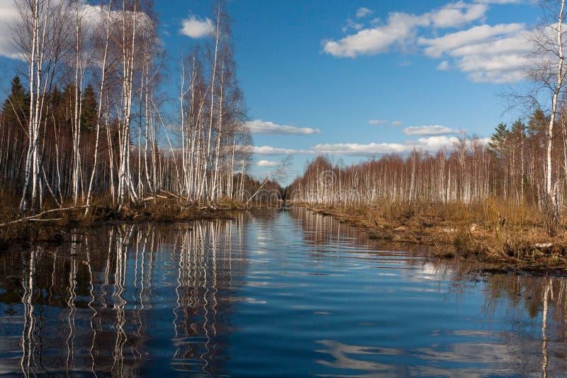 Sprigtime flooding. Springtime flooding in birch grown stock photo