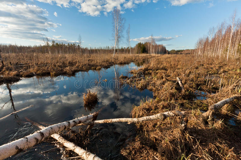 Sprigtime flooding. Springtime flooding in birch grown royalty free stock photo