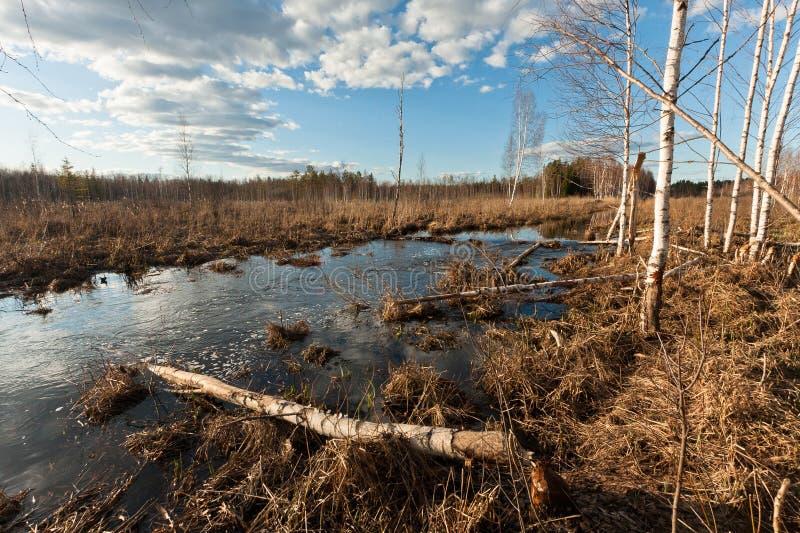 Sprigtime flooding. Springtime flooding in birch grown stock photos
