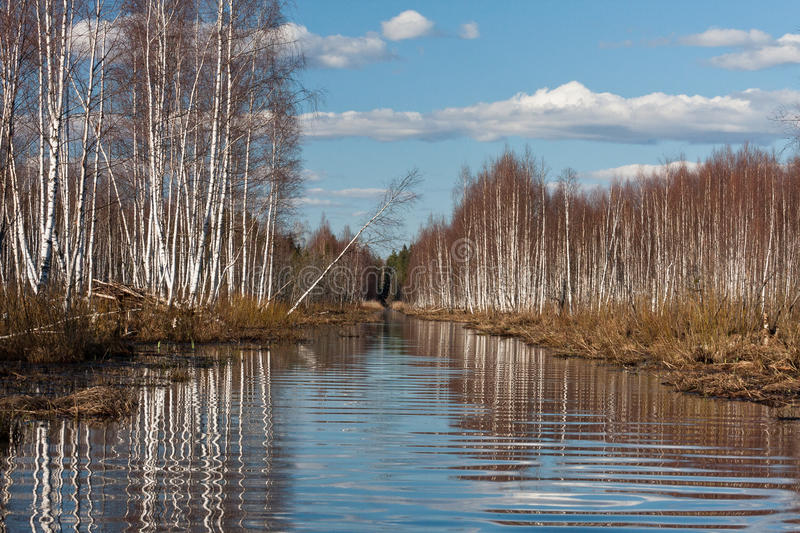 Sprigtime flooding. Springtime flooding in birch grown royalty free stock photos