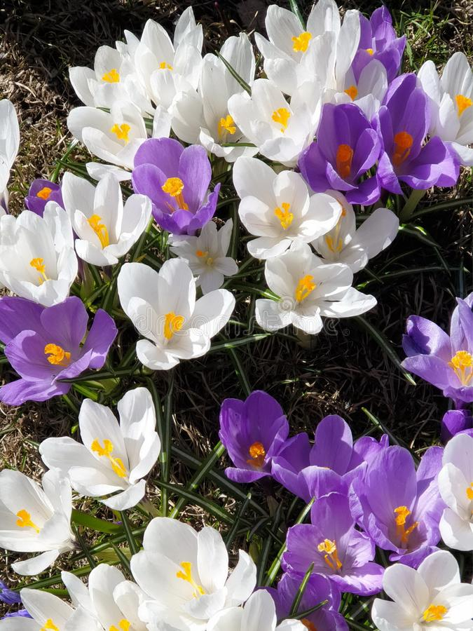 Lilac and white   Crocus Beautiful  Flowers Wonderful Spring Crocus in City Park on green grass. Spring in air quotes ,in  park ,Spring Flowers Wonderful Crocus stock image