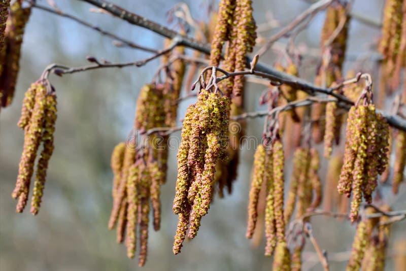 Spring. Alder catkins closeup. Spring. Alder catkins (lat. Alnus) close up stock photography