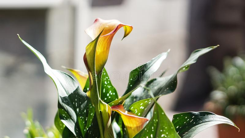 Spring all around, flowers. Photo of a calla around calle flowers spring stock image