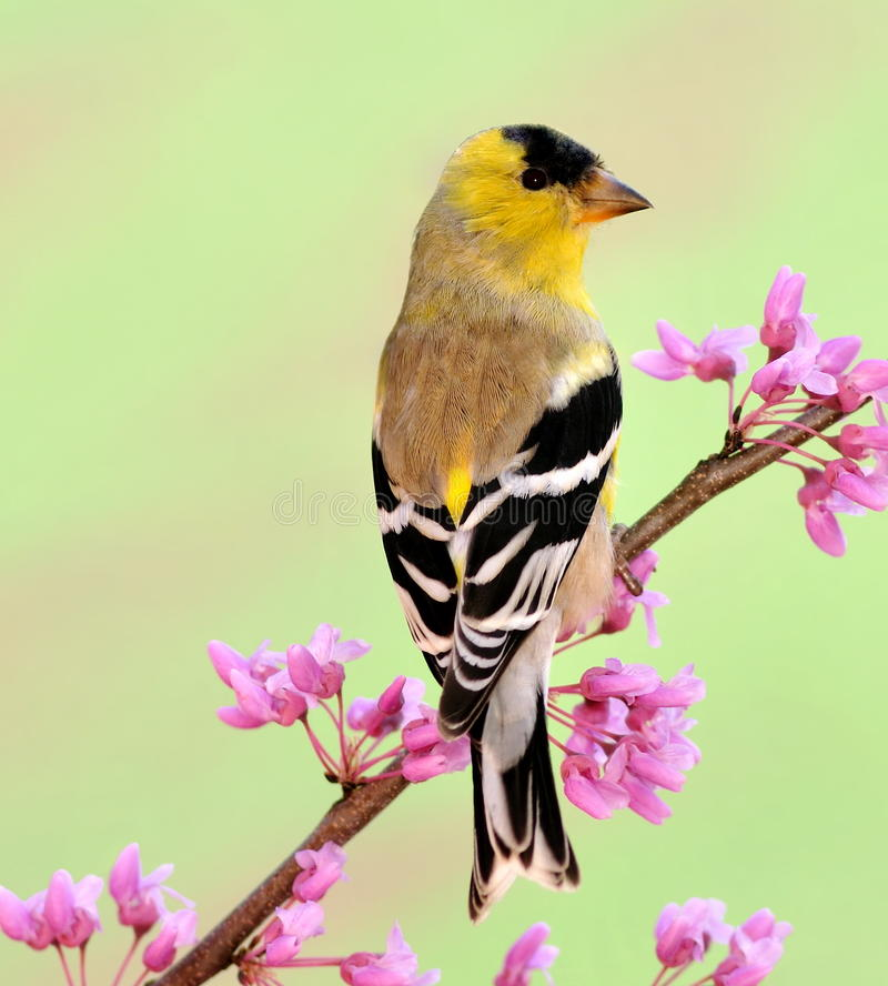 Spring American Goldfinch (Carduelis tristis). An American Goldfinch in spring plumage perched on an eastern redbud branch royalty free stock photo