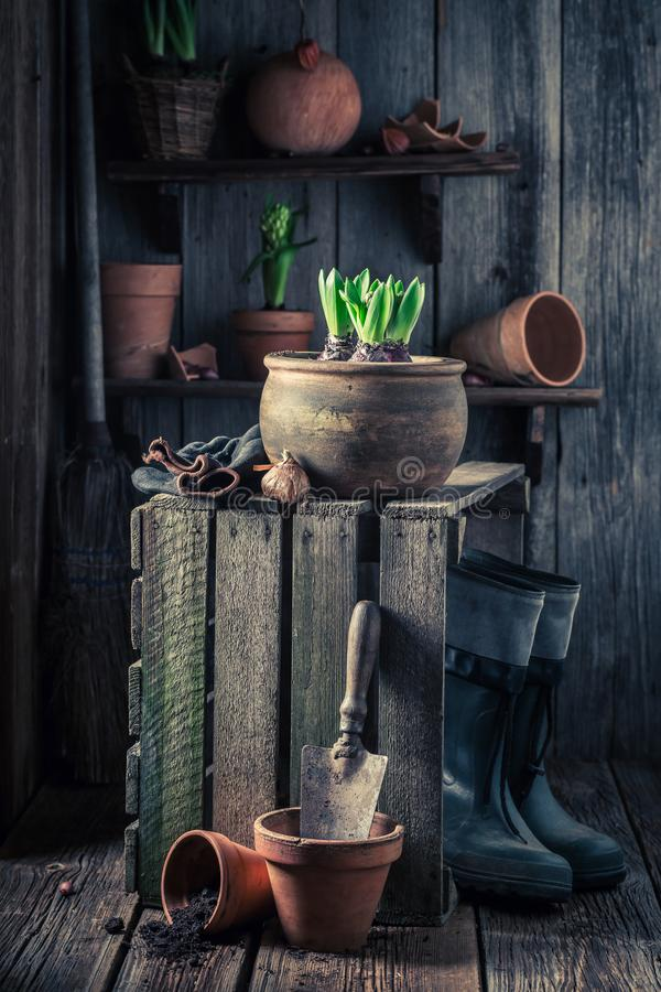 Free Spring And Young Flowers In Wooden Shed With Gardening Tools Royalty Free Stock Images - 110666809