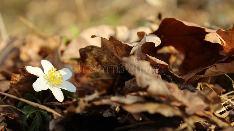 Anemone flower peeks out during spring. royalty free stock photos