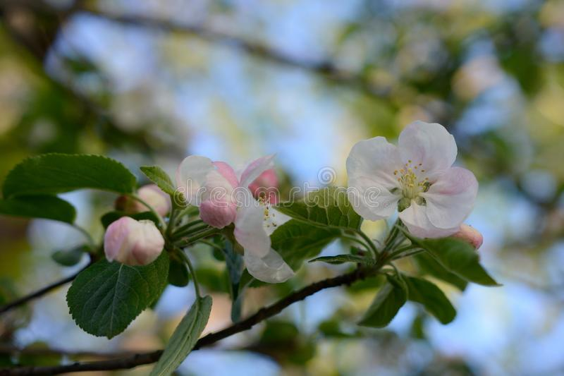 Spring Apple Blossoms With Rich Blue Sky royalty free stock photography