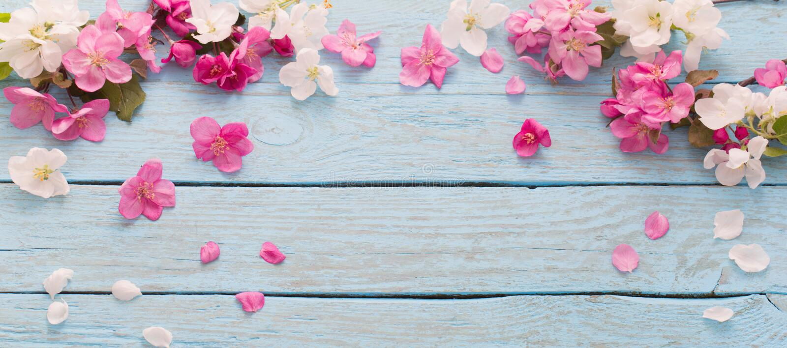 Spring apple pink and white flowers on blue wooden background. The spring apple pink and white flowers on blue wooden background royalty free stock images