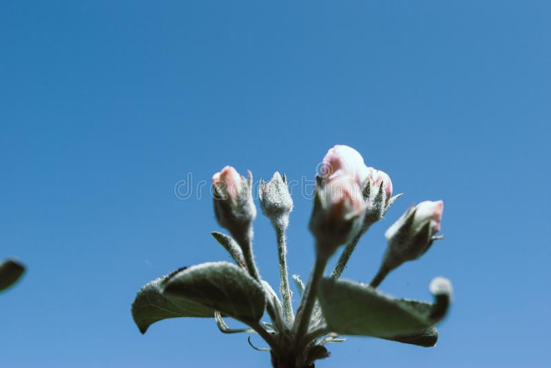 Spring apple tree; beautiful flowers. Nature background royalty free stock photo