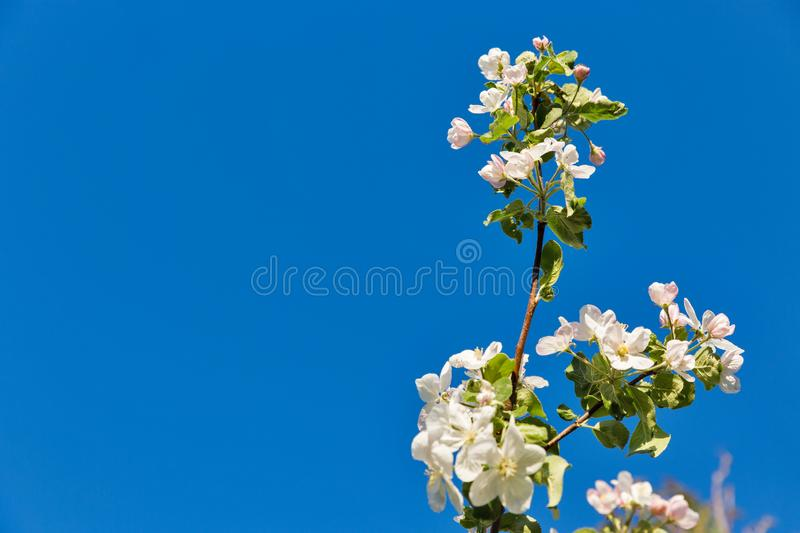 Spring apple tree blooming flowers background with copy space stock photo