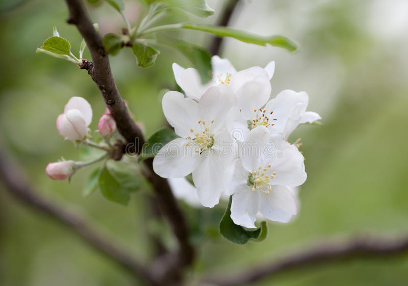 Spring apple tree blossom flower royalty free stock images