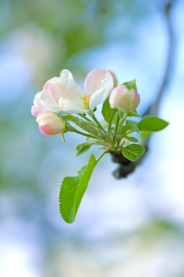 Spring apple tree inflorescence close-up stock photo