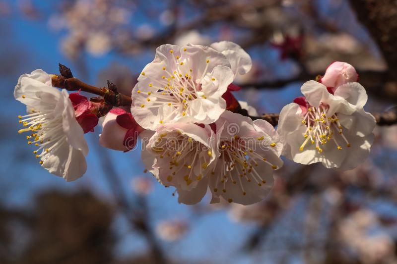 Spring apricot blossoms close up with unfocused background of sky and tree stock photography