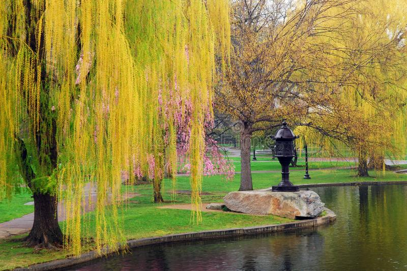 Spring Arrives at Boston Common. A large willow tree and a cherry tree begin to blossom in spring in Boston Common stock photography