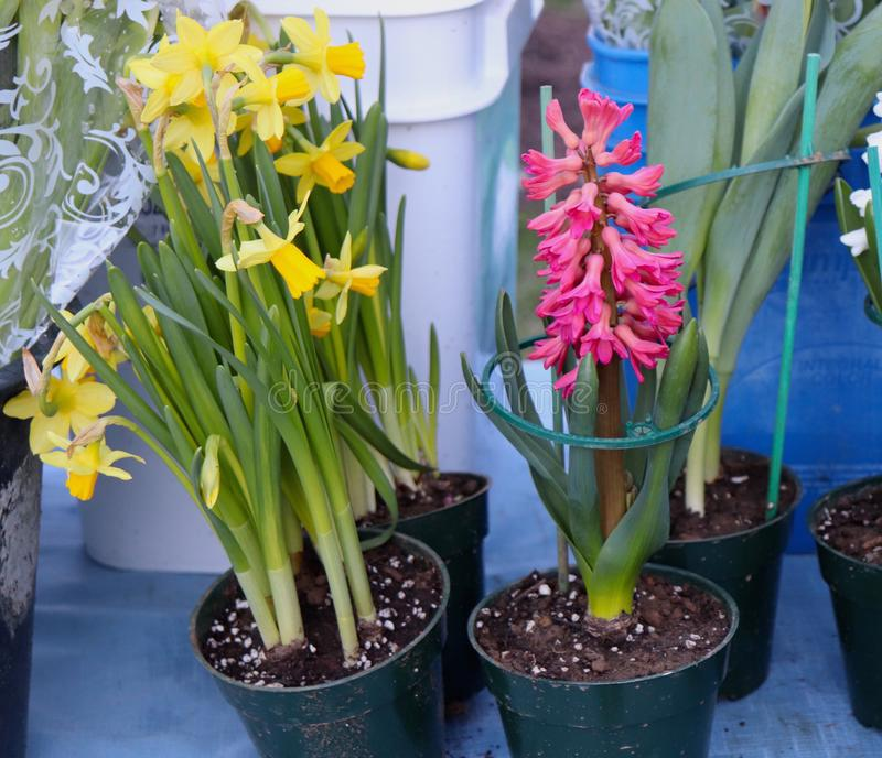 Daffodil and Hyacinth in Pots at Farmer`s Market. Spring arrives with daffodils and hyacinths, which are potted and displayed for sale here at a farmer`s market royalty free stock photos