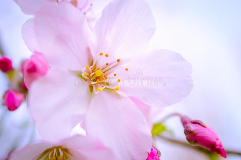 Spring in pink royalty free stock photo