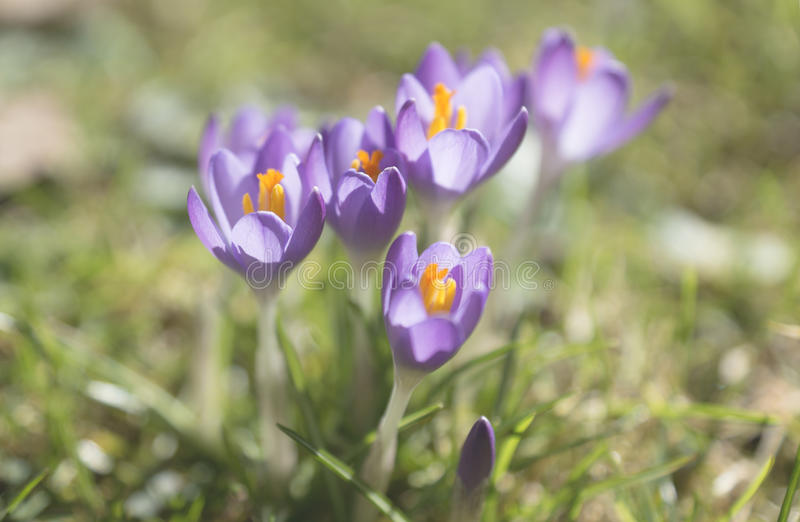 Spring is arriving. Spring crocus detail in the sunlight on a grassland, Austria royalty free stock photography