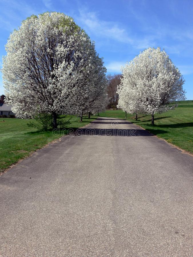 Spring: avenue of white blossom trees royalty free stock photography