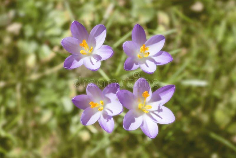 Spring awakening with crocus. Four crocus flowers on a gras field stock image