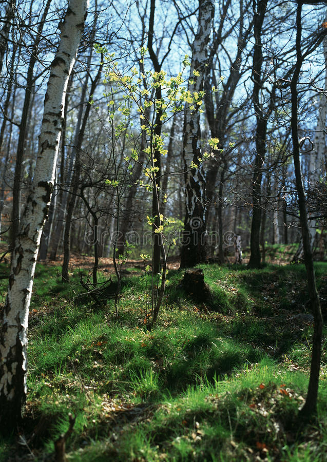 Download Spring Awakening In The Forest Stock Photo - Image: 20351270