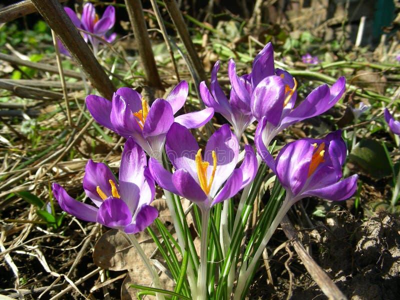 Spring awakening of snowdrops stock images