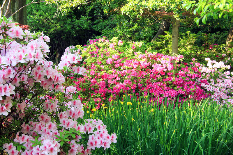 Spring azalea garden. Azalea and iris garden in bloom royalty free stock photography