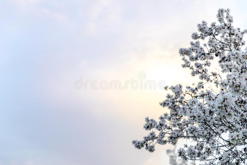 Spring background with almond tree bloom stock photography