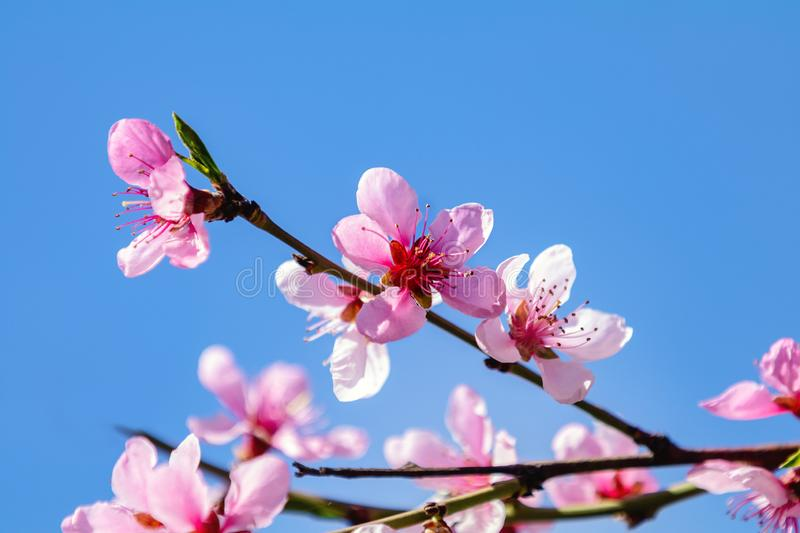 Spring background art with pink peach blossom stock photos